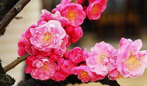 京都 北野天満宮 梅花祭