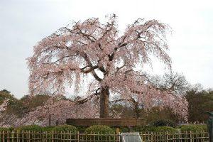 京都 円山公園 枝垂桜